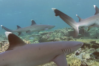 Beqa Lagoon, Fiji – Black & White Tip Sharks @5m photo