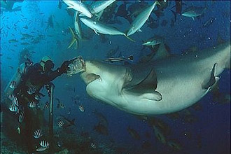 Bull shark feeding for Christmas planned in Fiji's Beqa Lagoon - feature photo