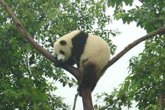Wolong International Panda Reserve, Chengdu, China photo